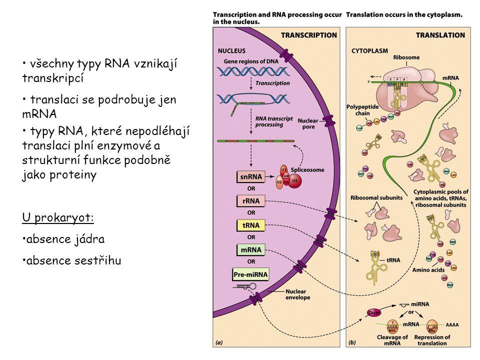 všechny typy RNA vznikají transkripcí translaci se podrobuje jen mRNA typy RNA, které nepodléhají translaci plní enzymové a strukturní funkce podobně