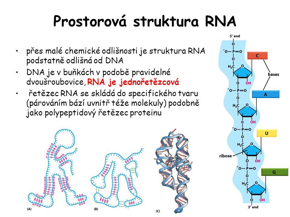 Prostorová struktura RNA přes malé chemické odlišnosti je struktura RNA podstatně odlišná od DNA DNA je v buňkách v podobě pravidelné dvoušroubovice,