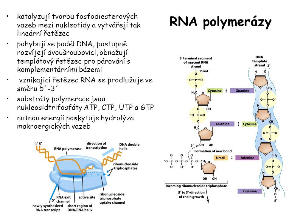 RNA polymerázy katalyzují tvorbu fosfodiesterových vazeb mezi nukleotidy a vytvářejí tak lineární řetězec pohybují se podél DNA, postupně rozvíjejí dv