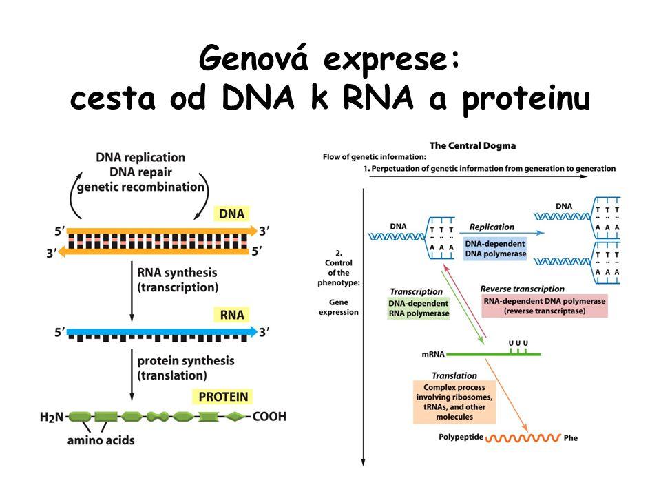 Prostorová struktura RNA přes malé chemické odlišnosti je struktura RNA podstatně odlišná od DNA DNA je v buňkách v podobě pravidelné dvoušroubovice, RNA je jednořetězcová řetězec RNA se skládá do specifického tvaru (párováním bází uvnitř téže molekuly) podobně jako polypeptidový řetězec proteinu