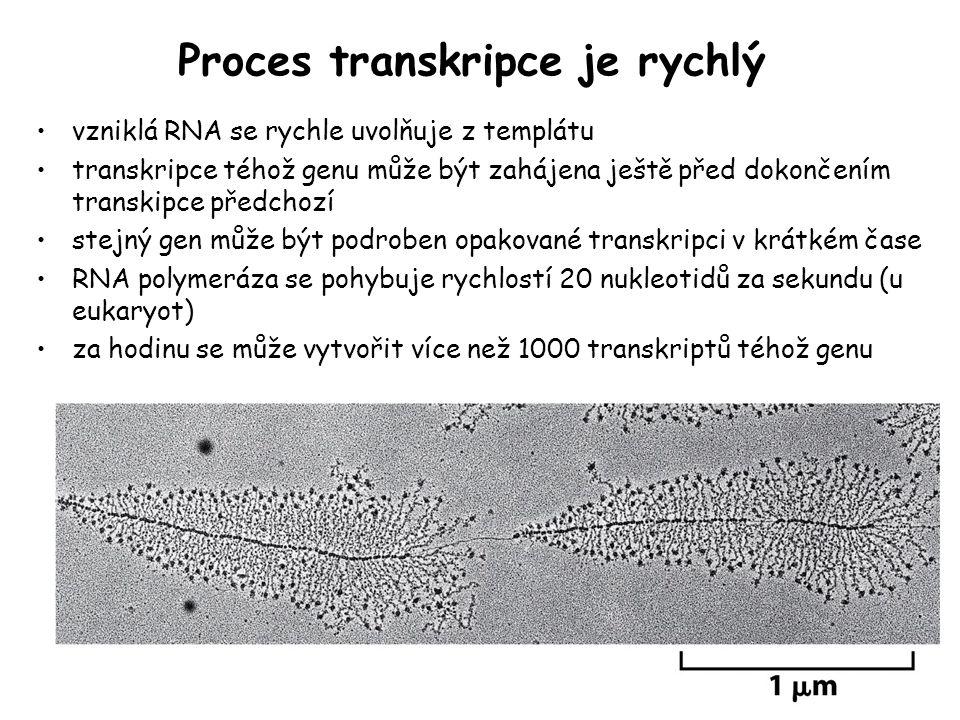 Proces transkripce je rychlý vzniklá RNA se rychle uvolňuje z templátu transkripce téhož genu může být zahájena ještě před dokončením transkipce předc