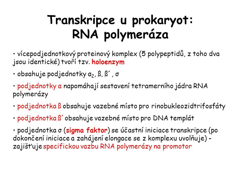 Transkripce u prokaryot: RNA polymeráza vícepodjednotkový proteinový komplex (5 polypeptidů, z toho dva jsou identické) tvoří tzv. holoenzym obsahuje