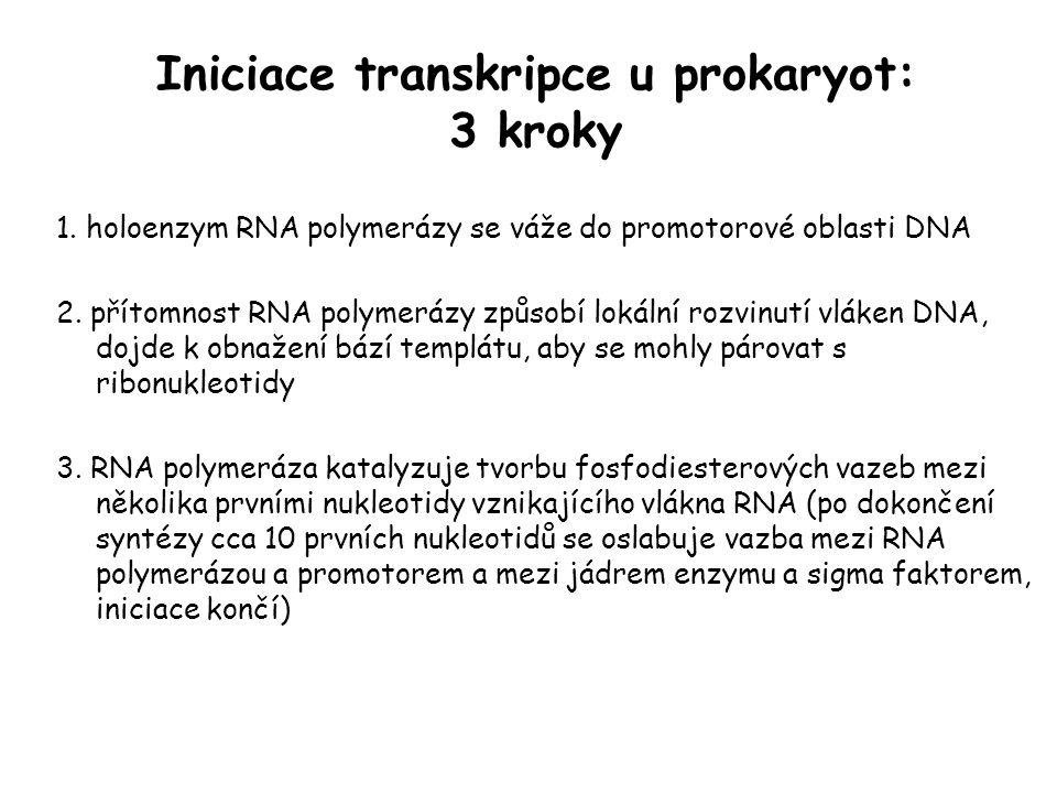 Iniciace transkripce u prokaryot: 3 kroky 1. holoenzym RNA polymerázy se váže do promotorové oblasti DNA 2. přítomnost RNA polymerázy způsobí lokální