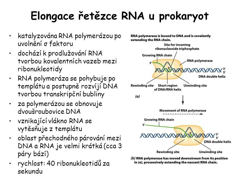 Elongace řetězce RNA u prokaryot katalyzována RNA polymerázou po uvolnění σ faktoru dochází k prodlužování RNA tvorbou kovalentních vazeb mezi ribonuk