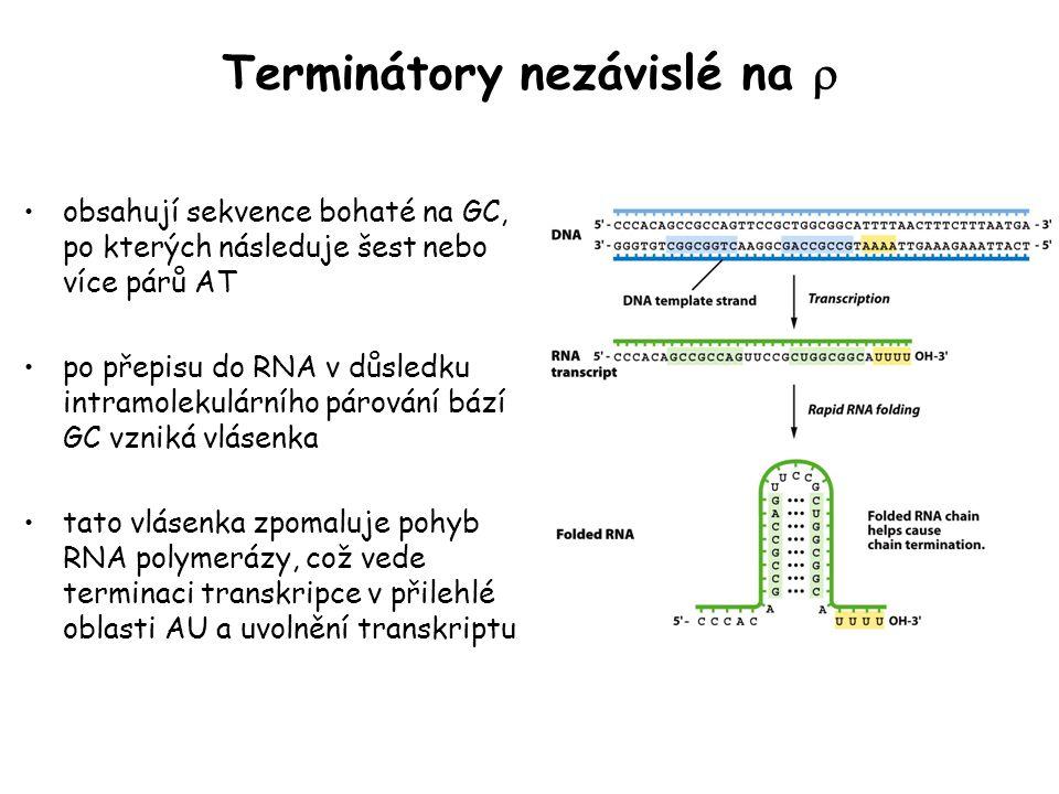 Terminátory nezávislé na  obsahují sekvence bohaté na GC, po kterých následuje šest nebo více párů AT po přepisu do RNA v důsledku intramolekulárního