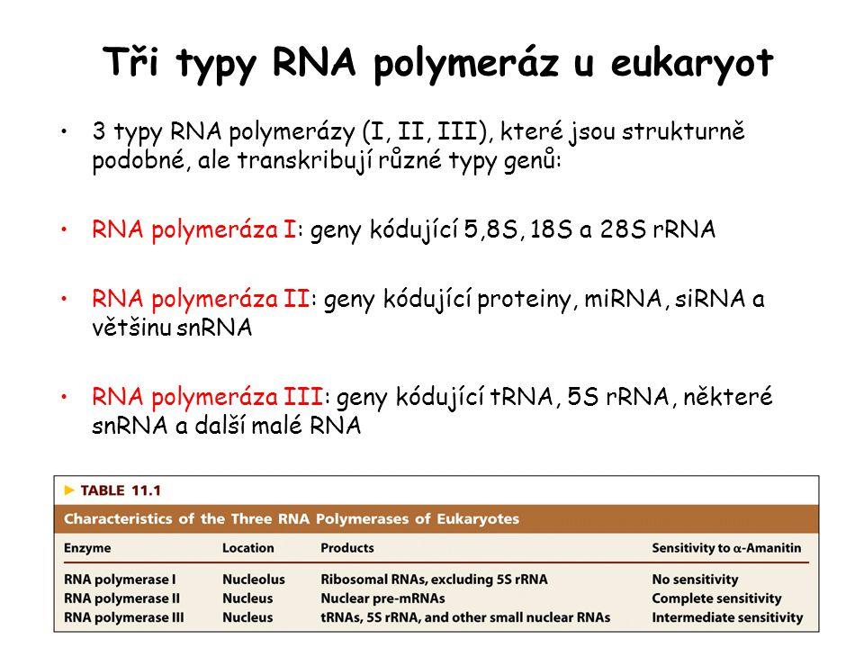 Tři typy RNA polymeráz u eukaryot 3 typy RNA polymerázy (I, II, III), které jsou strukturně podobné, ale transkribují různé typy genů: RNA polymeráza