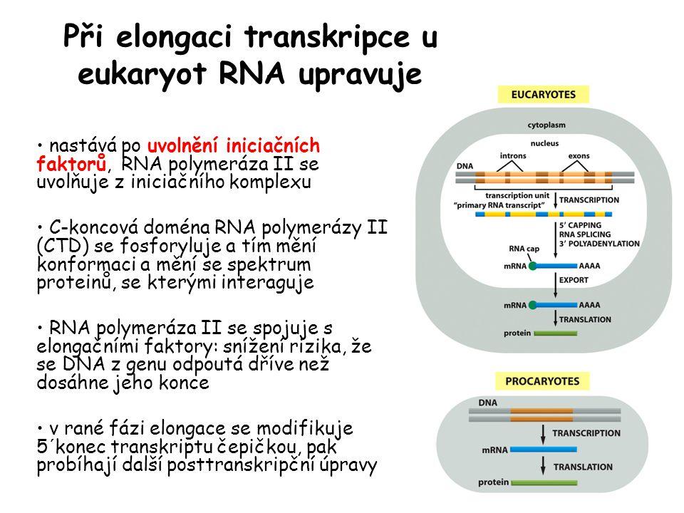 Při elongaci transkripce u eukaryot RNA upravuje nastává po uvolnění iniciačních faktorů, RNA polymeráza II se uvolňuje z iniciačního komplexu C-konco