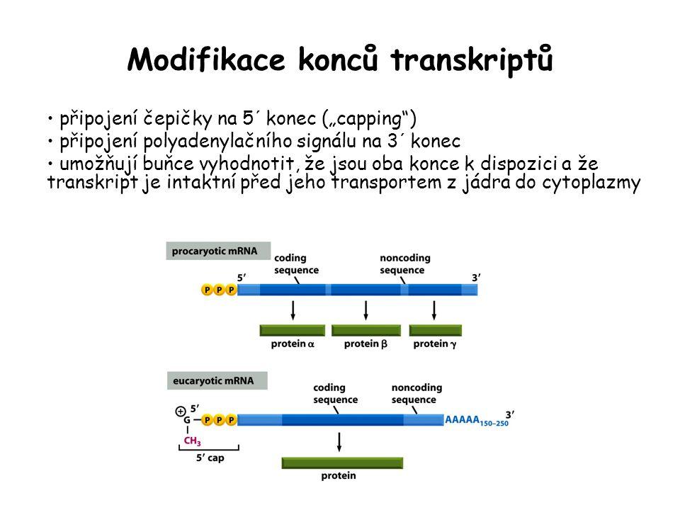 """Modifikace konců transkriptů připojení čepičky na 5´ konec (""""capping"""") připojení polyadenylačního signálu na 3´ konec umožňují buňce vyhodnotit, že js"""