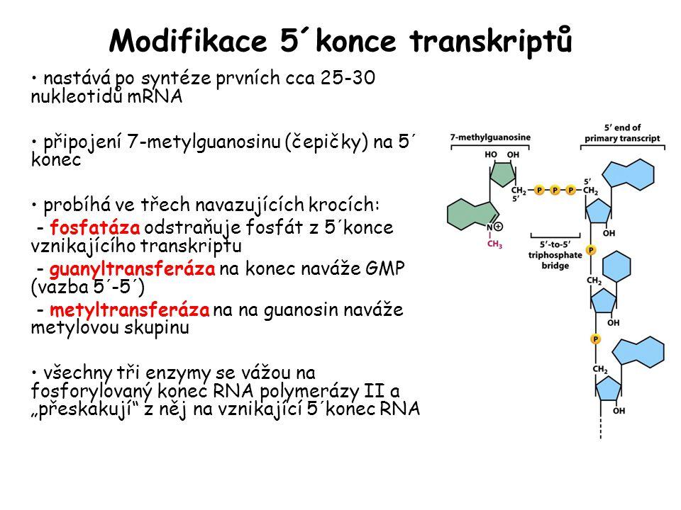 Modifikace 5´konce transkriptů nastává po syntéze prvních cca 25-30 nukleotidů mRNA připojení 7-metylguanosinu (čepičky) na 5´ konec probíhá ve třech