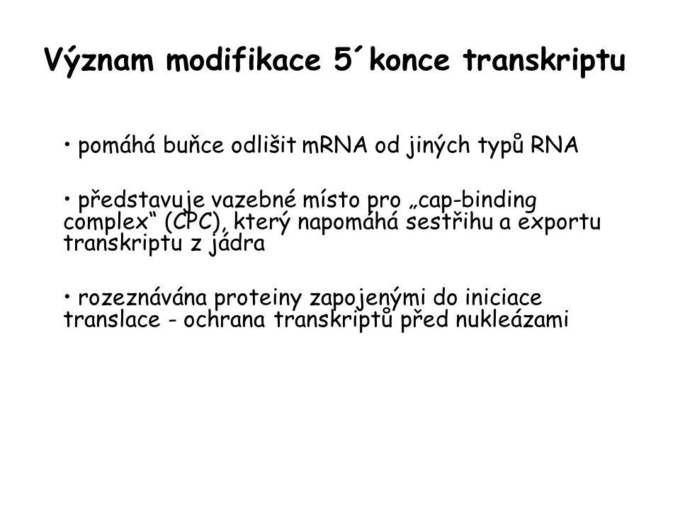 """Význam modifikace 5´konce transkriptu pomáhá buňce odlišit mRNA od jiných typů RNA představuje vazebné místo pro """"cap-binding complex"""" (CPC), který na"""