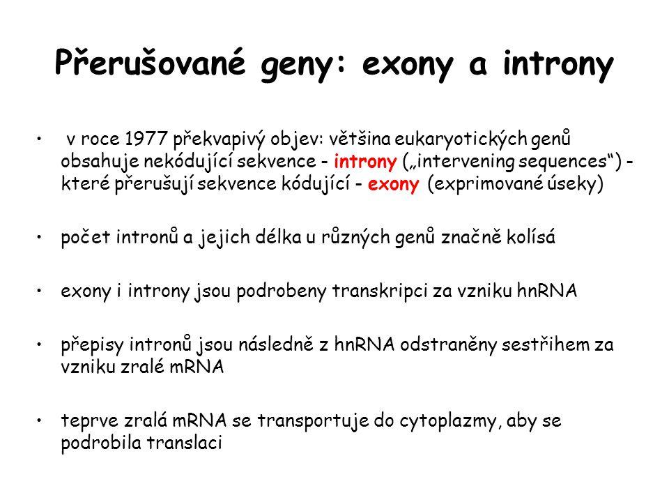 """Přerušované geny: exony a introny v roce 1977 překvapivý objev: většina eukaryotických genů obsahuje nekódující sekvence - introny (""""intervening seque"""