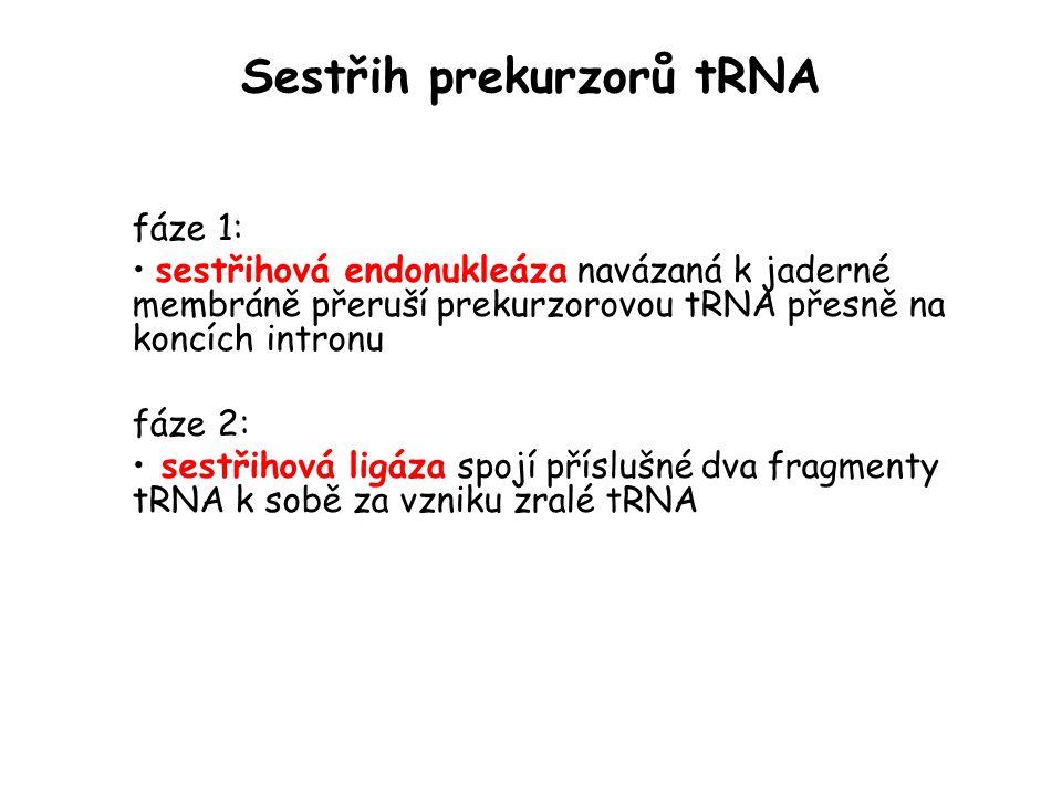 Sestřih prekurzorů tRNA fáze 1: sestřihová endonukleáza navázaná k jaderné membráně přeruší prekurzorovou tRNA přesně na koncích intronu fáze 2: sestř