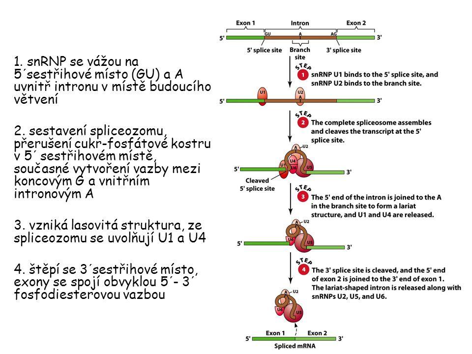 1. snRNP se vážou na 5´sestřihové místo (GU) a A uvnitř intronu v místě budoucího větvení 2. sestavení spliceozomu, přerušení cukr-fosfátové kostru v