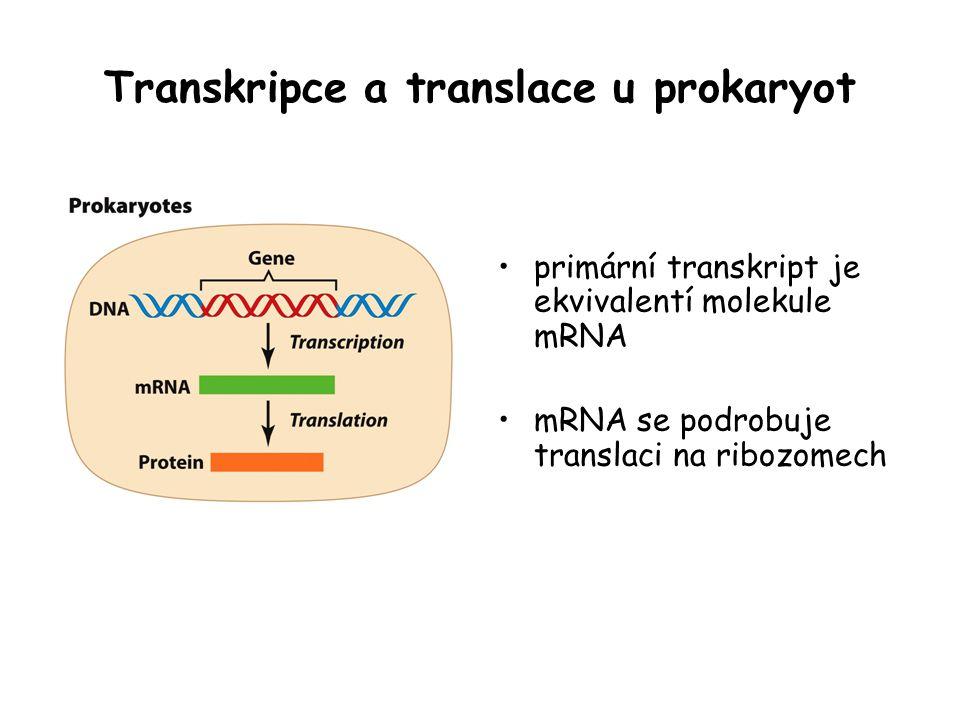 Transkripce a translace u prokaryot primární transkript je ekvivalentí molekule mRNA mRNA se podrobuje translaci na ribozomech