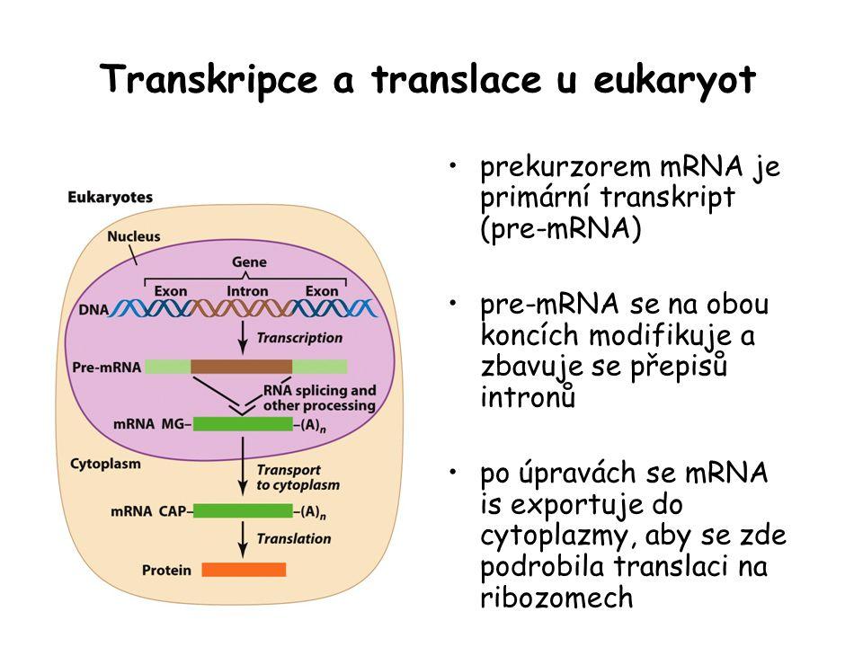 Transkripce a translace u eukaryot prekurzorem mRNA je primární transkript (pre-mRNA) pre-mRNA se na obou koncích modifikuje a zbavuje se přepisů intr