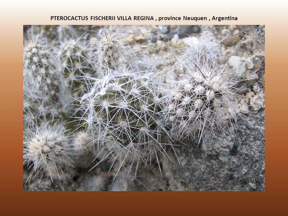 PTEROCACTUS FISCHERII VILLA REGINA, province Neuquen, Argentina