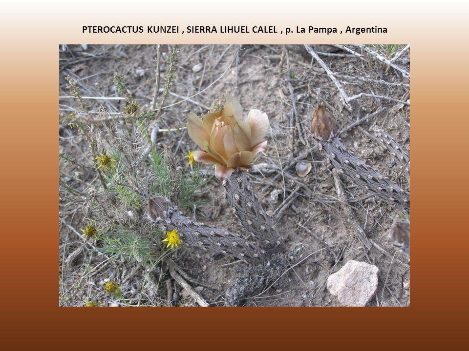 PTEROCACTUS KUNZEI, SIERRA LIHUEL CALEL, p. La Pampa, Argentina