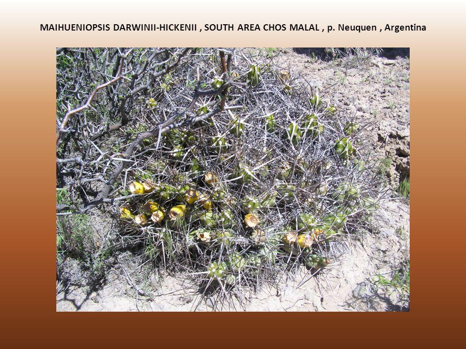 MAIHUENIOPSIS DARWINII-HICKENII, SOUTH AREA CHOS MALAL, p. Neuquen, Argentina