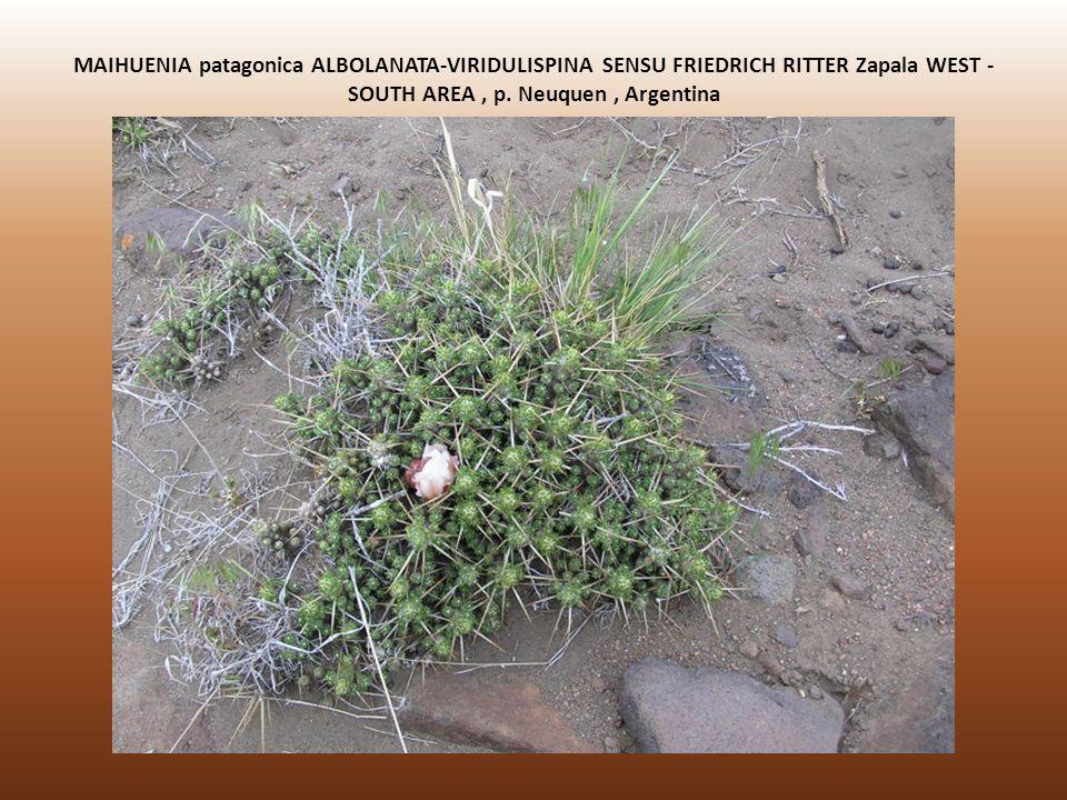 MAIHUENIA patagonica ALBOLANATA-VIRIDULISPINA SENSU FRIEDRICH RITTER Zapala WEST - SOUTH AREA, p. Neuquen, Argentina