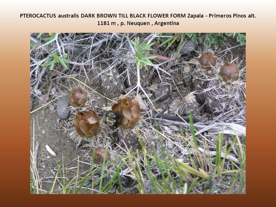 PTEROCACTUS australis DARK BROWN TILL BLACK FLOWER FORM Zapala - Primeros Pinos alt. 1181 m, p. Neuquen, Argentina