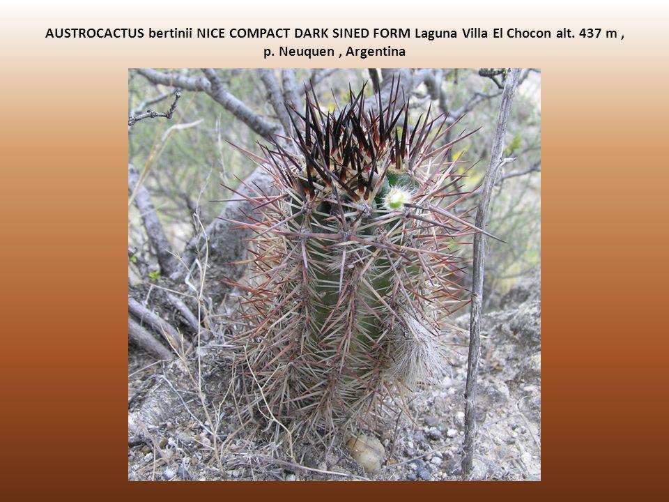 AUSTROCACTUS bertinii NICE COMPACT DARK SINED FORM Laguna Villa El Chocon alt. 437 m, p. Neuquen, Argentina