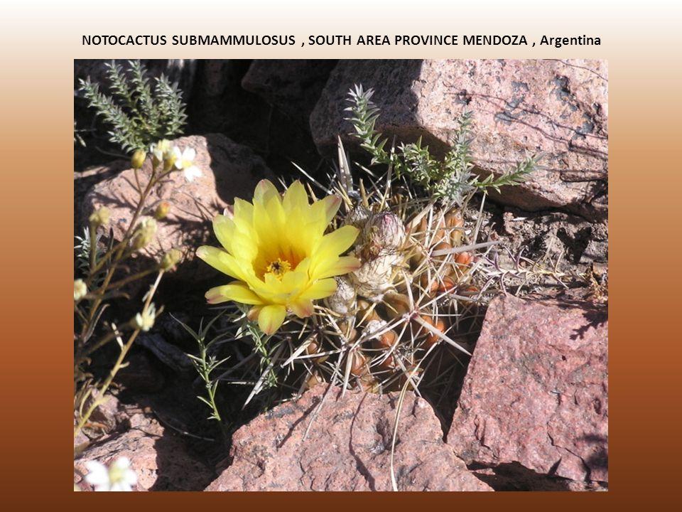 NOTOCACTUS SUBMAMMULOSUS, SOUTH AREA PROVINCE MENDOZA, Argentina