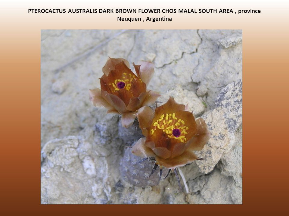 PTEROCACTUS AUSTRALIS DARK BROWN FLOWER CHOS MALAL SOUTH AREA, province Neuquen, Argentina