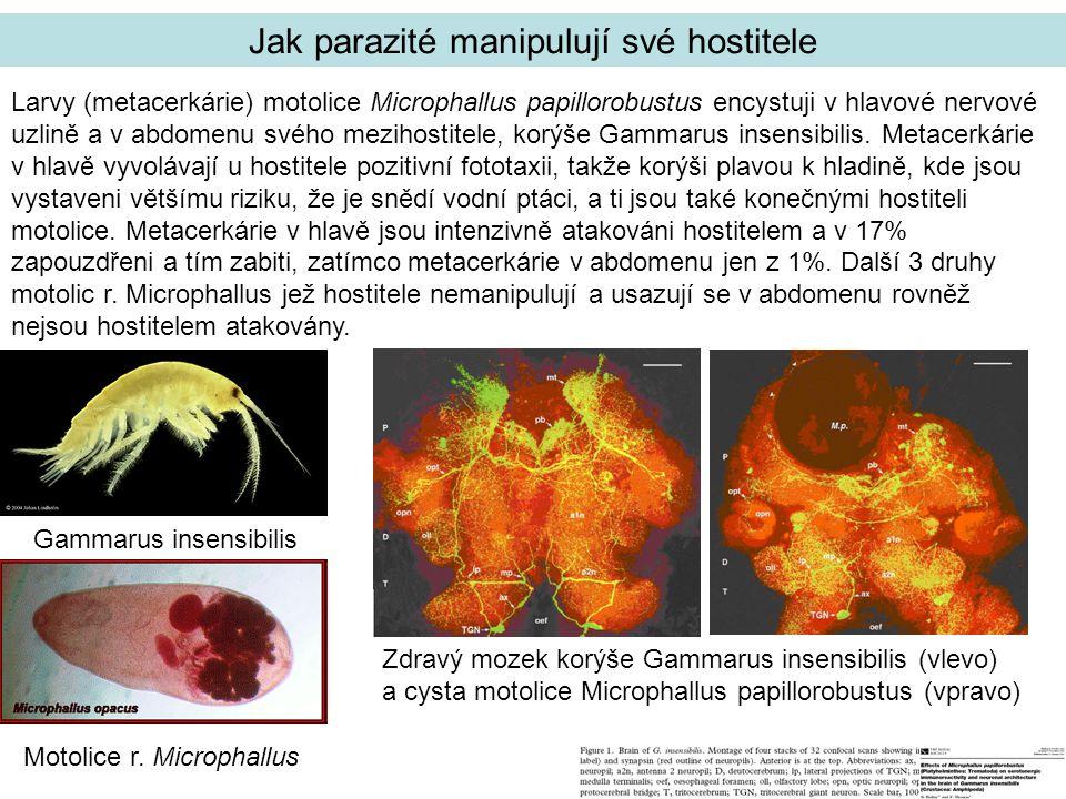 Gammarus insensibilis Larvy (metacerkárie) motolice Microphallus papillorobustus encystuji v hlavové nervové uzlině a v abdomenu svého mezihostitele, korýše Gammarus insensibilis.