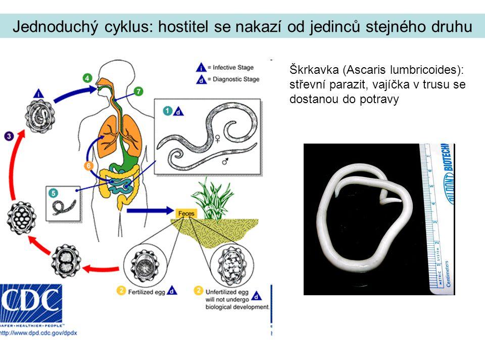 Motolice jaterní (Fasciola hepatica) Dospělá motolice ve žlučovodech (člověk, další savci) vylučuje do trusu vajíčka, z těch se ve vodě líhne larvální stadium (miracidium), napadne měkkýše, kde prodělá část vývoje (sporocysta, redie, cerkárie), volně plující larva (cerkárie) měkkýše opustí a zapouzdří se na vodních rostlinách, na nich je spasena konečným hostitelem Cyklus s jedním mezihostitelem