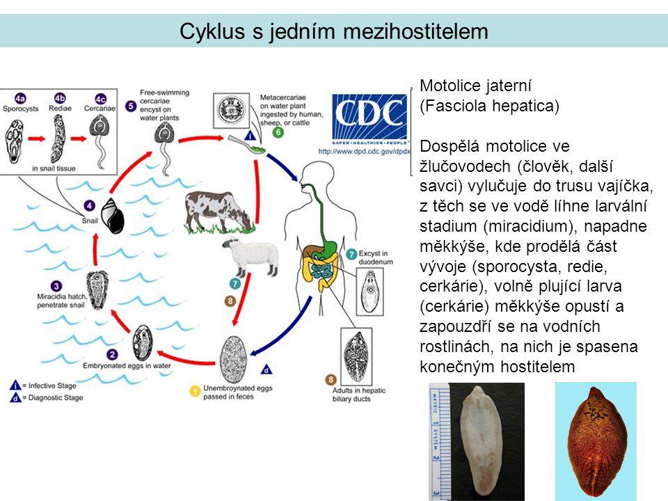 tasemnice Diphyllobothrium latum Cyklus se dvěma mezihostiteli