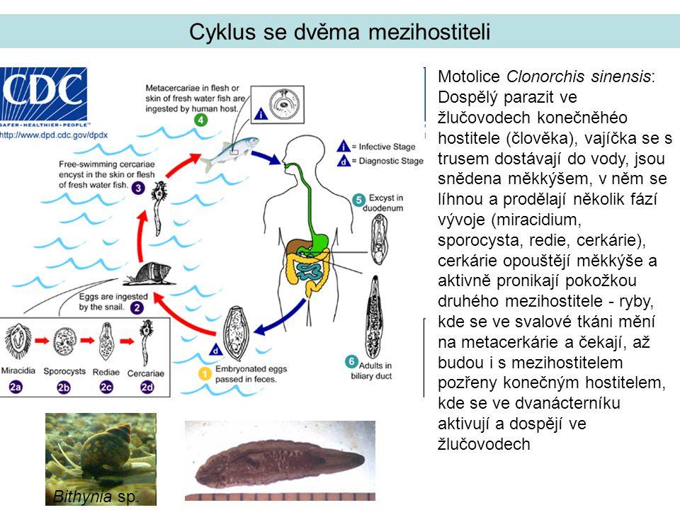 Motolice Clonorchis sinensis: Dospělý parazit ve žlučovodech konečněhéo hostitele (člověka), vajíčka se s trusem dostávají do vody, jsou snědena měkkýšem, v něm se líhnou a prodělají několik fází vývoje (miracidium, sporocysta, redie, cerkárie), cerkárie opouštějí měkkýše a aktivně pronikají pokožkou druhého mezihostitele - ryby, kde se ve svalové tkáni mění na metacerkárie a čekají, až budou i s mezihostitelem pozřeny konečným hostitelem, kde se ve dvanácterníku aktivují a dospějí ve žlučovodech Cyklus se dvěma mezihostiteli Bithynia sp.