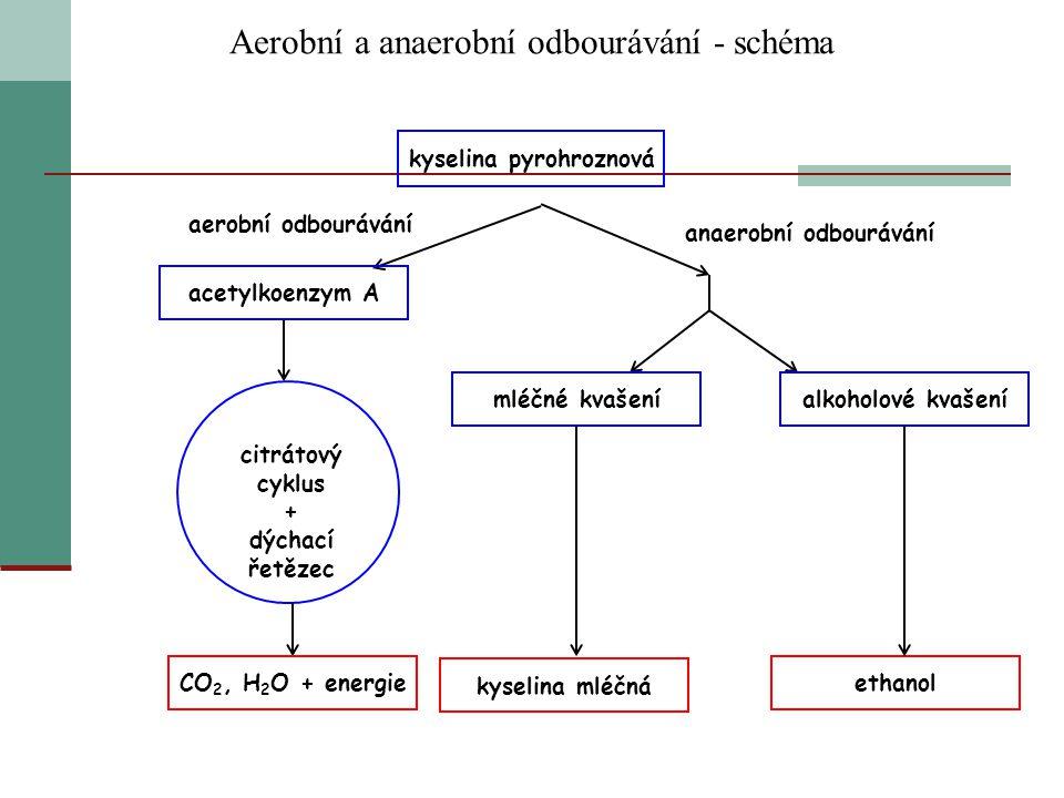 Aerobní a anaerobní odbourávání - schéma kyselina pyrohroznová aerobní odbourávání anaerobní odbourávání acetylkoenzym A citrátový cyklus + dýchací ře