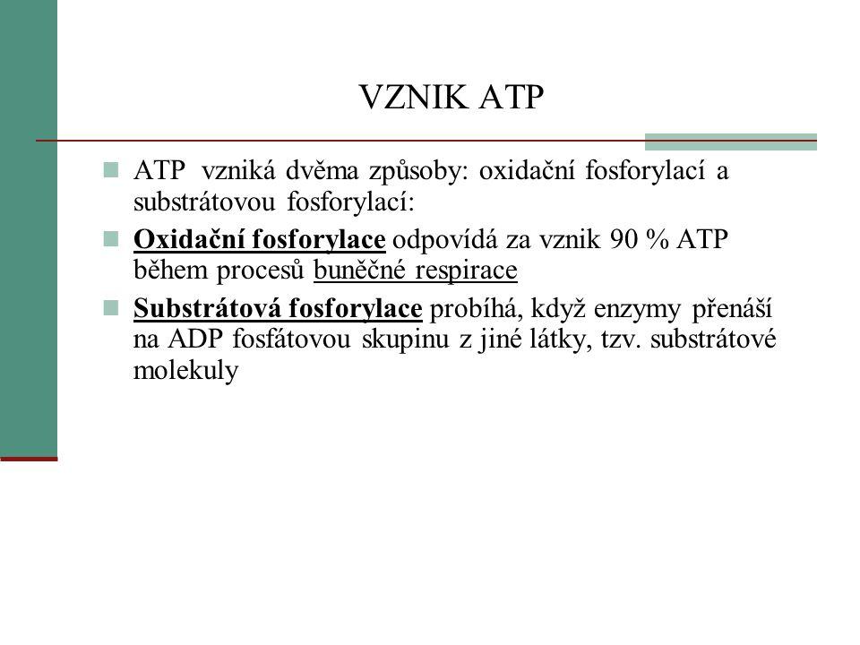 VZNIK ATP  Nejdůležitějším výsledkem buněčného dýchání je vznik ATP  ATP vzniká fosforylací: přidání anorganického fosfátu P k ADP  Při dýchání je zapotřebí kyslík > proto oxidační fosforylace  Důležitý enzym = ATP- syntáza  Enzym je zabudován ve vnitřní membráně mitochondrie  v molekule ATP- syntázy je kanálek,kde procházejí vodíkové ionty