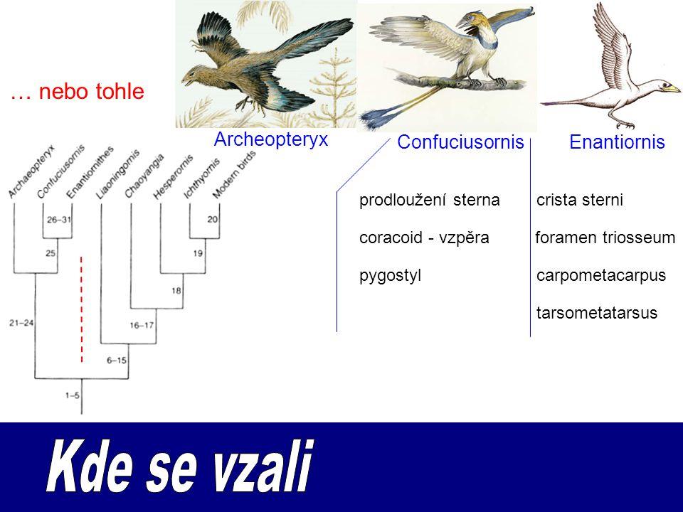 … nebo tohle Archeopteryx ConfuciusornisEnantiornis foramen triosseumcoracoid - vzpěra crista sterniprodloužení sterna pygostylcarpometacarpus tarsome