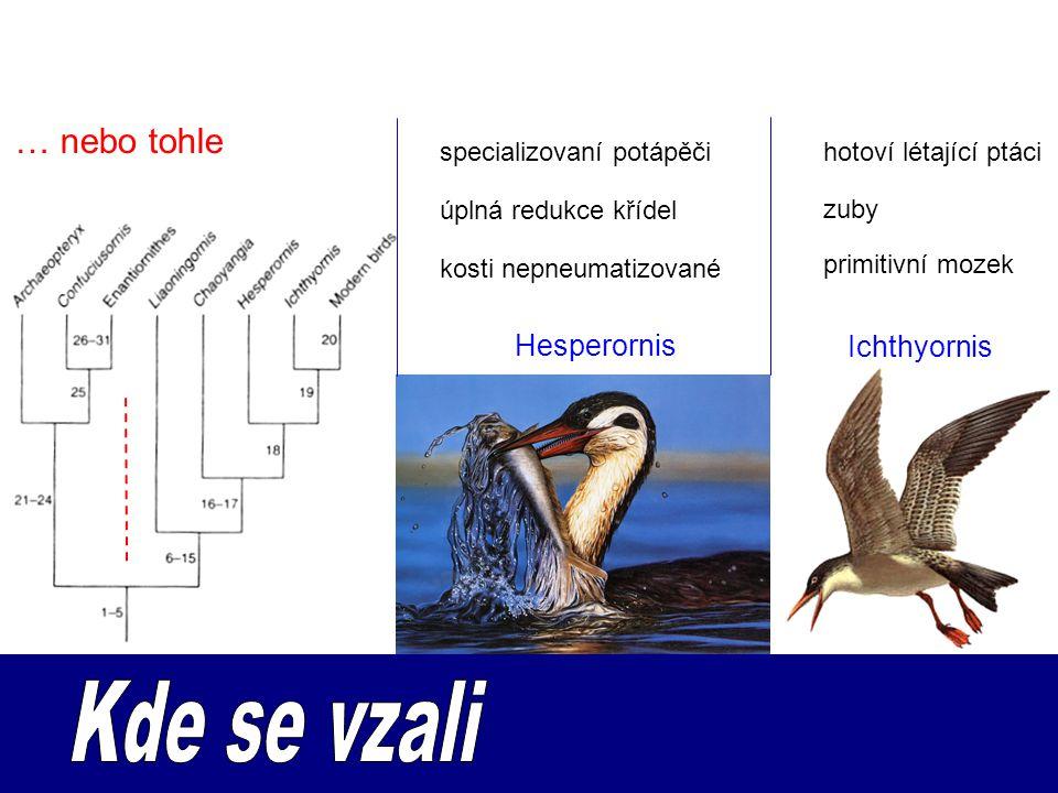 … nebo tohle Hesperornis Ichthyornis specializovaní potápěčihotoví létající ptáci úplná redukce křídel primitivní mozek zuby kosti nepneumatizované