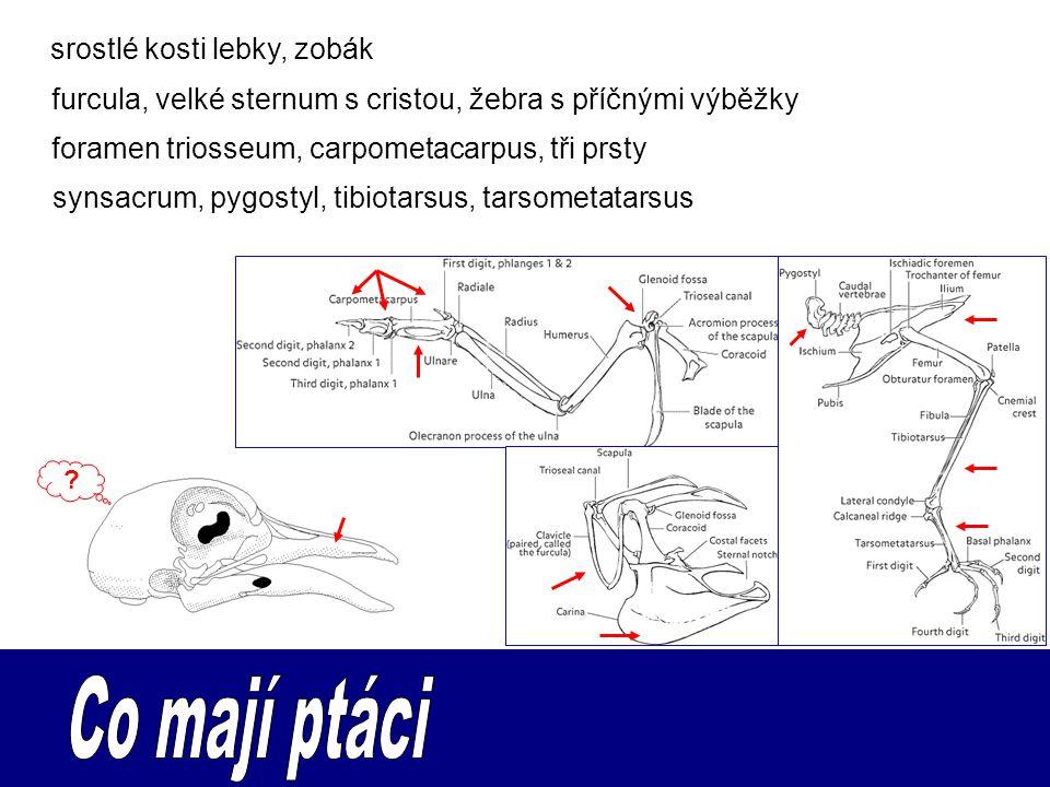 srostlé kosti lebky, zobák synsacrum, pygostyl, tibiotarsus, tarsometatarsus furcula, velké sternum s cristou, žebra s příčnými výběžky foramen trioss