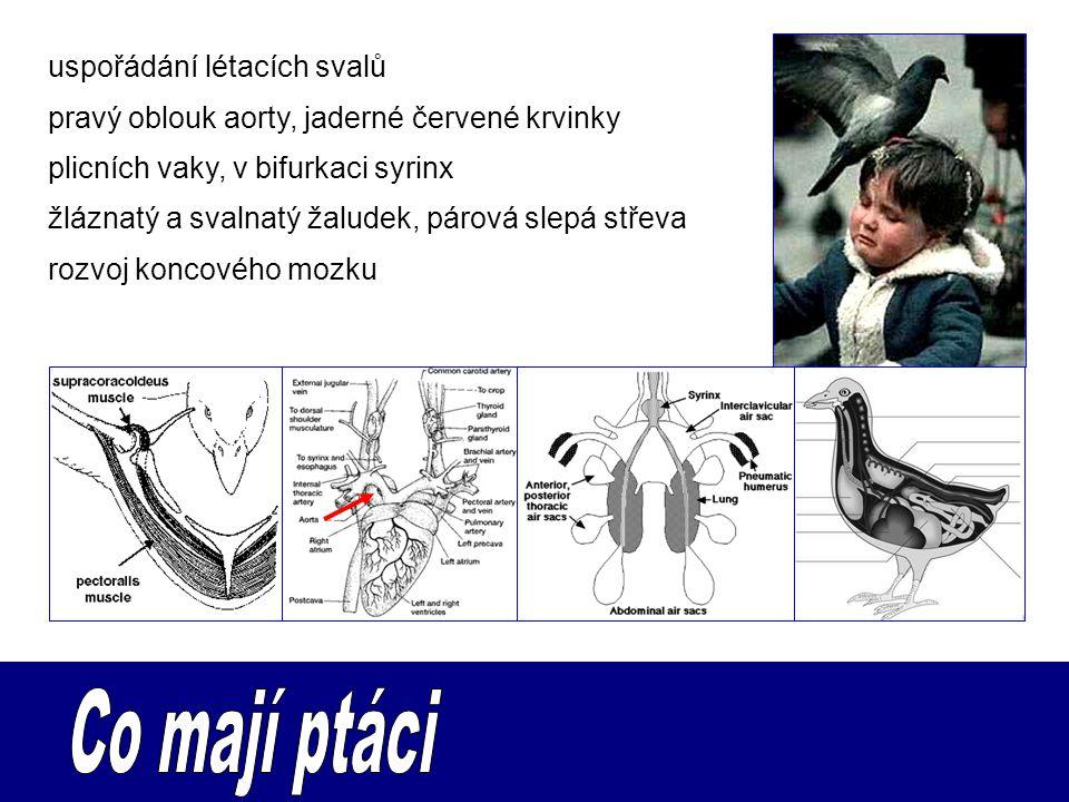 uspořádání létacích svalů pravý oblouk aorty, jaderné červené krvinky plicních vaky, v bifurkaci syrinx žláznatý a svalnatý žaludek, párová slepá stře