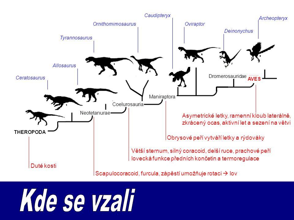 Allosaurus Duté kosti Ceratosaurus Scapulocoracoid, furcula, zápěstí umožňuje rotaci  lov Obrysové peří vytváří letky a rýdováky Caudipteryx Asymetrické letky, ramenní kloub laterálně, zkrácený ocas, aktivní let a sezení na větvi Archeopteryx THEROPODA Tyrannosaurus Oviraptor Deinonychus Ornithomimosaurus AVES Neotetanurae Coelurosauria Maniraptora Dromerosauridae Větší sternum, silný coracoid, delší ruce, prachové peří lovecká funkce předních končetin a termoregulace