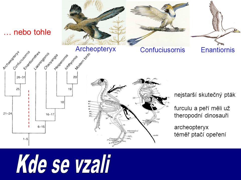 … nebo tohle Archeopteryx ConfuciusornisEnantiornis nejstarší skutečný pták furculu a peří měli už theropodní dinosauři archeopteryx téměř ptačí opeření