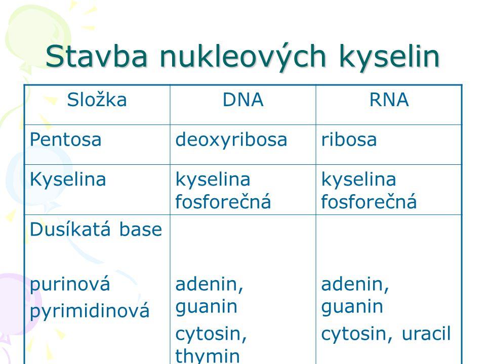 Stavba nukleových kyselin SložkaDNARNA Pentosadeoxyribosaribosa Kyselinakyselina fosforečná Dusíkatá base purinová pyrimidinová adenin, guanin cytosin