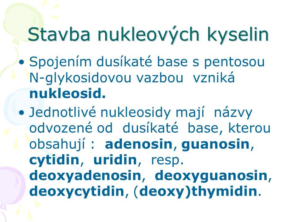 Stavba nukleových kyselin •Spojením dusíkaté base s pentosou N-glykosidovou vazbou vzniká nukleosid. •Jednotlivé nukleosidy mají názvy odvozené od dus