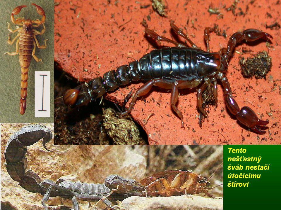 Tento nešťastný šváb nestačí útočícímu štírovi