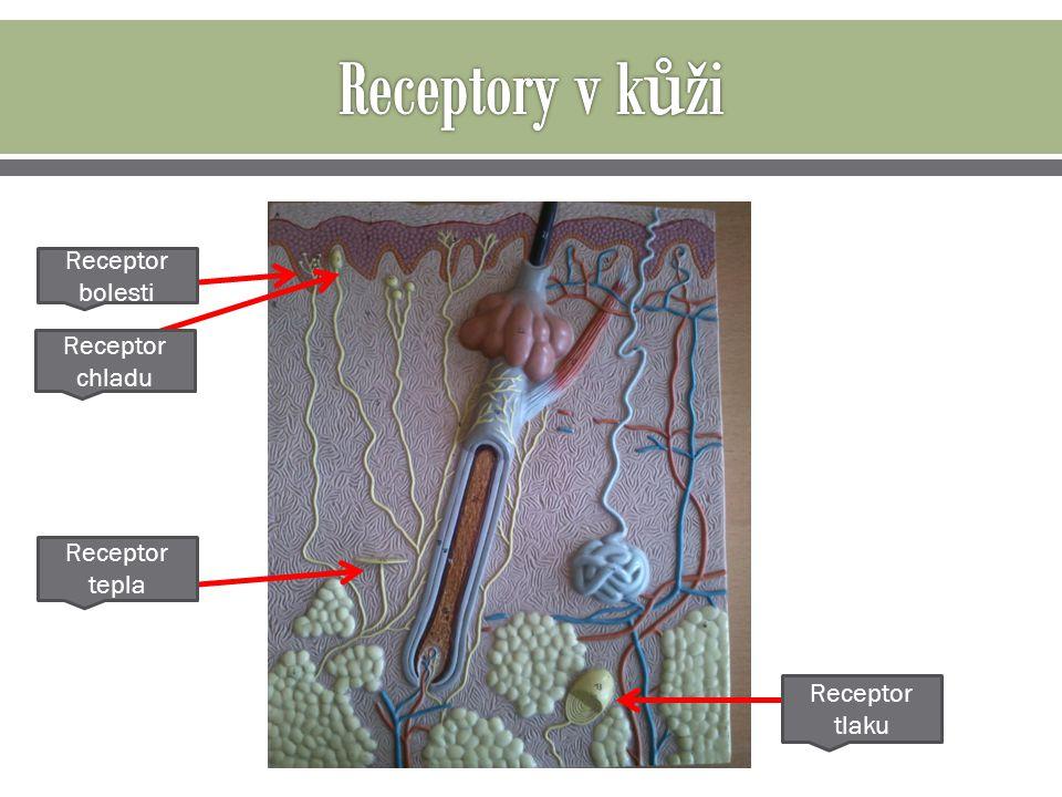 Receptor bolesti Receptor tepla Receptor chladu Receptor tlaku