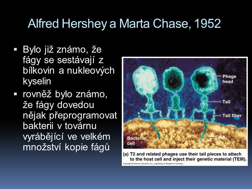 Alfred Hershey a Marta Chase, 1952  Bylo již známo, že fágy se sestávají z bílkovin a nukleových kyselin  rovněž bylo známo, že fágy dovedou nějak přeprogramovat bakterii v továrnu vyrábějící ve velkém množství kopie fágů