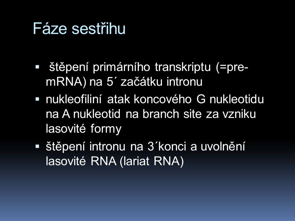 Fáze sestřihu  štěpení primárního transkriptu (=pre- mRNA) na 5´ začátku intronu  nukleofiliní atak koncového G nukleotidu na A nukleotid na branch site za vzniku lasovité formy  štěpení intronu na 3´konci a uvolnění lasovité RNA (lariat RNA)