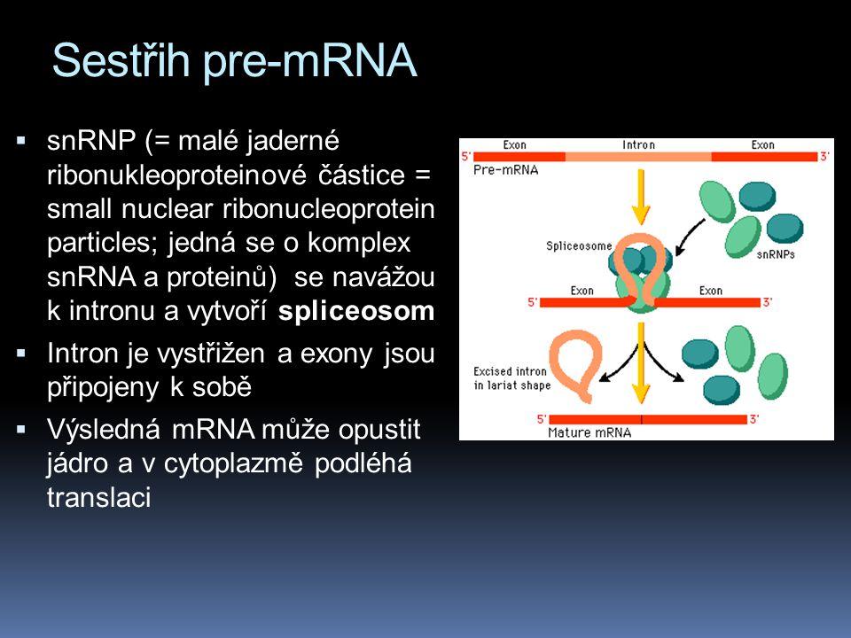 Sestřih pre-mRNA  snRNP (= malé jaderné ribonukleoproteinové částice = small nuclear ribonucleoprotein particles; jedná se o komplex snRNA a proteinů) se navážou k intronu a vytvoří spliceosom  Intron je vystřižen a exony jsou připojeny k sobě  Výsledná mRNA může opustit jádro a v cytoplazmě podléhá translaci