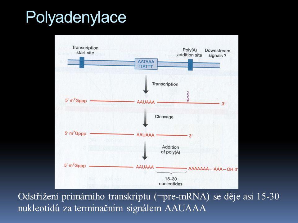 Polyadenylace Odstřižení primárního transkriptu (=pre-mRNA) se děje asi 15-30 nukleotidů za terminačním signálem AAUAAA