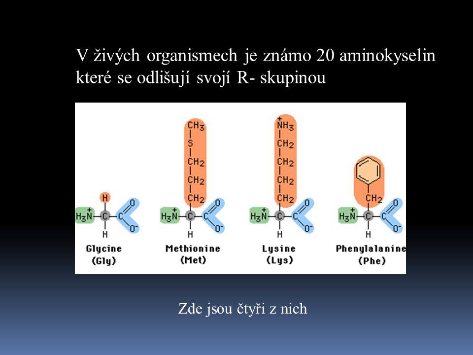 V živých organismech je známo 20 aminokyselin které se odlišují svojí R- skupinou Zde jsou čtyři z nich