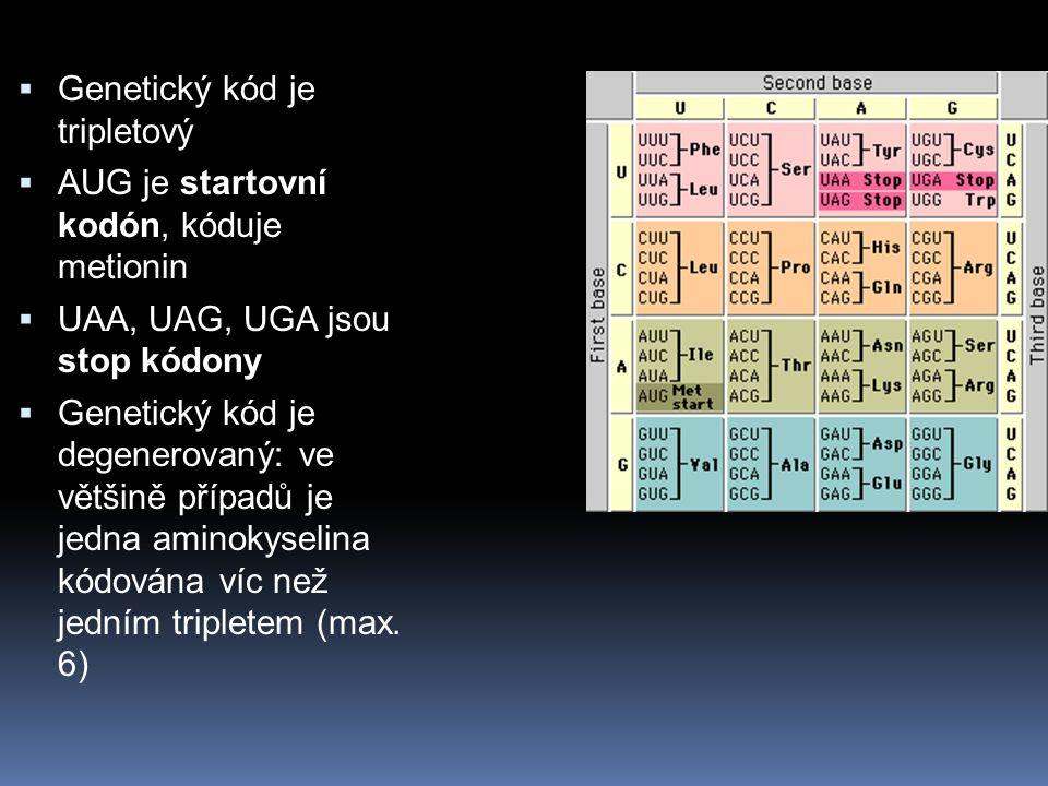  Genetický kód je tripletový  AUG je startovní kodón, kóduje metionin  UAA, UAG, UGA jsou stop kódony  Genetický kód je degenerovaný: ve většině případů je jedna aminokyselina kódována víc než jedním tripletem (max.