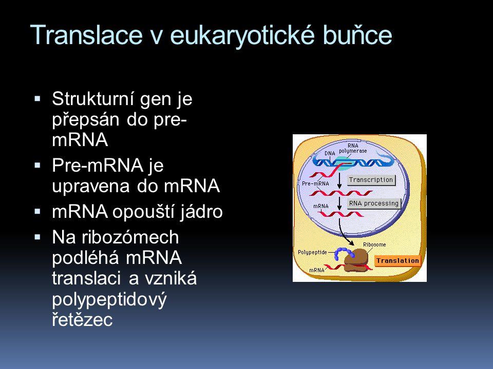 Translace v eukaryotické buňce  Strukturní gen je přepsán do pre- mRNA  Pre-mRNA je upravena do mRNA  mRNA opouští jádro  Na ribozómech podléhá mRNA translaci a vzniká polypeptidový řetězec